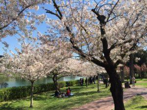 Hanami al laghetto dell'Eur. Fioritura dei Sakura (ciliegi giapponesi)