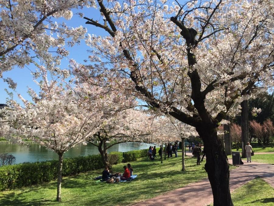 Hanami al laghetto dell 39 eur la magia dei ciliegi for Laghetto giapponese